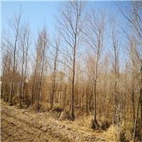 大规格10-12公分土球胡杨树苗出售厂