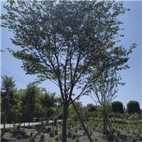 丛生朴树种植基地