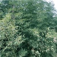 <郑州本地>大量出售石楠,南天竹,竹子厂
