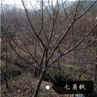 鸡爪槭/七角枫出售