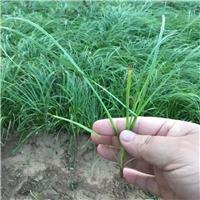 北京披针叶苔草裸根苗价格咨询北方常绿