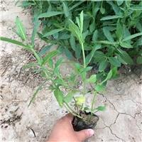 北方常绿种植柳叶马鞭草的方法