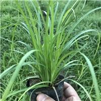 北京基地供应商批发种植优质青绿苔草营养杯