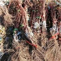 巨峰葡萄苗现货 果穗大 根系发达 高品质
