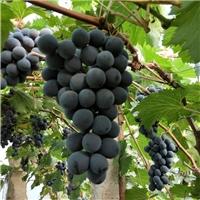 供应香悦葡萄苗提供上门种植技术基地直销