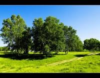 夏季桦木林(1)