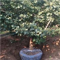 四季常青绿化果树