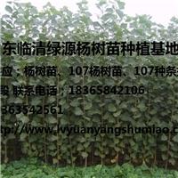 山东临清绿源杨树苗种植基地