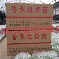 广西南宁农科院制种香蕉苗西贡粉蕉苗组培