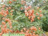 防治栾树常见病虫害