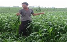 高丹草栽培技术