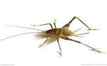 蟋蟀草的生理特征和防治方法