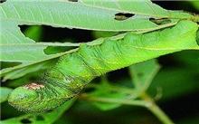 八月份香樟食叶害虫的防治措施