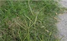 狗牙根品种热带草原