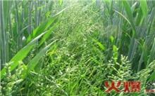 野燕麦的生理特征和防治方法