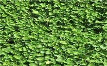 马蹄金草坪的养护技术
