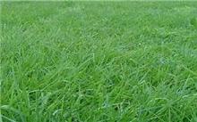结缕草应用问题及解决措施