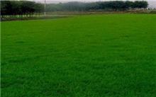 园林草坪的种植与管理