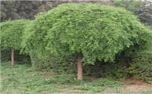 绿化苗木一般都往哪里销售?
