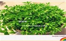 垂盆草同属植物