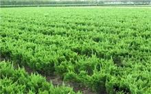影响苗木价格的因素
