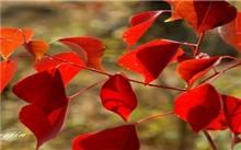 艳丽的观叶树种――红叶乌桕