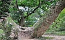 江西泰和:新植珍贵楠木26万株