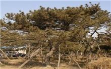 园林绿化大树移栽保活关键技术