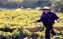 七个菊花新品种培育研究