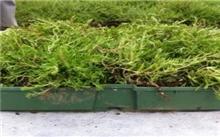 屋顶绿化植物--垂盆草