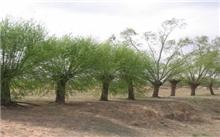 盐碱干旱地垂柳栽植技术