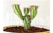 仙人掌-懒人植物