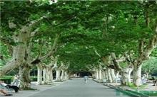 行道树的选择