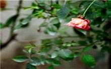 玫瑰栽培和管理要点
