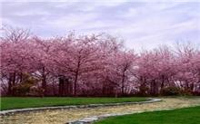 樱花树的秋季管理四要素