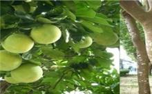 柚子树合理栽种