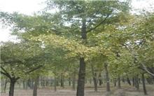 2012郯城银杏树