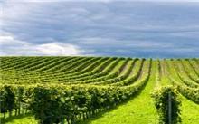 宁夏:贺兰山东麓百万亩葡萄长廊创千亿元产值