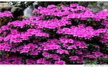 湖北:花木盆景协会杜鹃花分会在麻城市成立