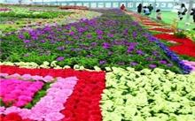 浙江:嘉善杜鹃花展开幕 5年争创华东最大盆栽杜鹃展