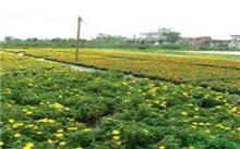潢川县着力打造花木产业集群