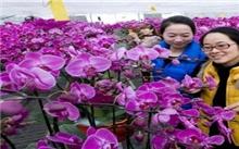春节将至 花卉俏销