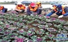 连云港:城市绿化带换上羽衣甘蓝