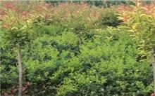 昆明:富民七成绿化苗木自给自足
