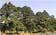 常见园林树种用途介绍