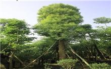 """浙江:一根八枝的香樟树成嘉兴""""名树"""""""