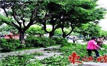 云和:修剪行道树 确保节假日安全畅通