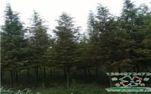 鞍山:50岁的水杉树 你们去了哪里