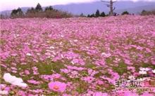 长沙浏阳河畔将现四季花廊 5月市民可赏波斯菊花海