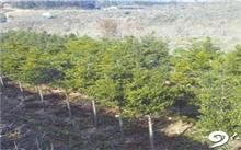 安徽:植树造林好时节 特色苗木受青睐